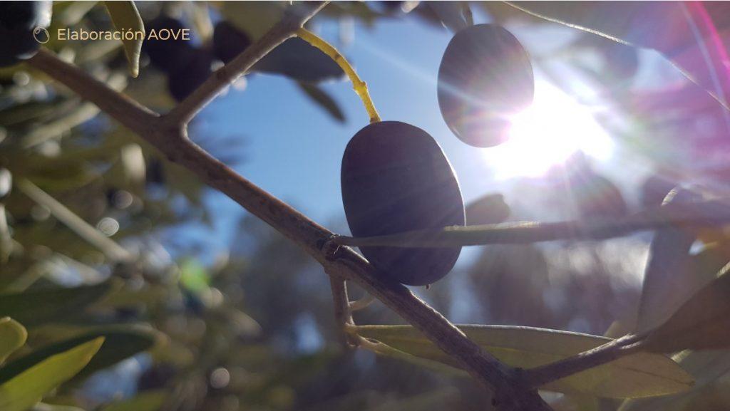 aceituna empeltre en el árbol